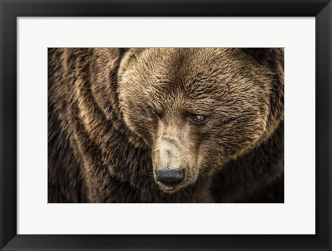 Framed Grizzly III Print