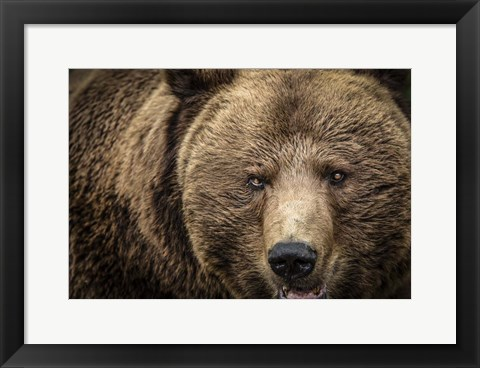 Framed Grizzly IV Print