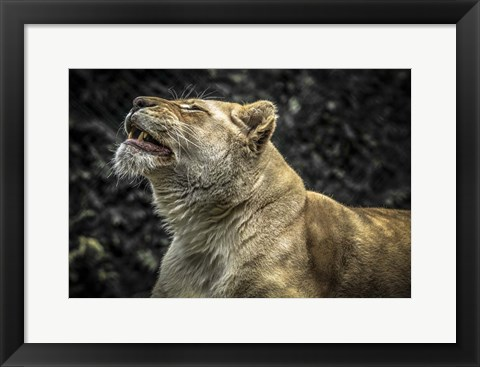 Framed Female White Lion Roars II Print