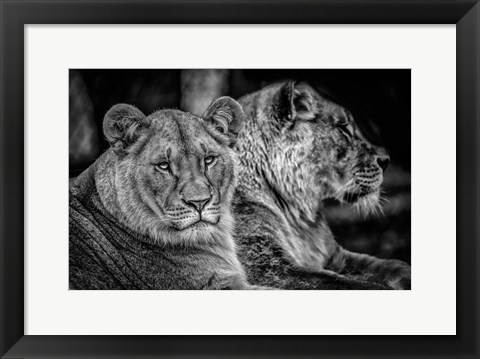 Framed Two Female Lions Black & White Print