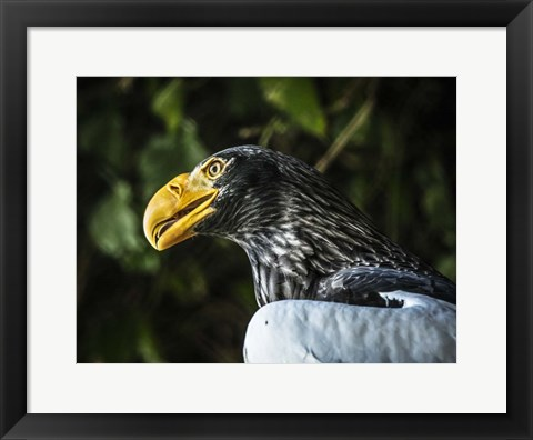 Framed Steller Eagle Print