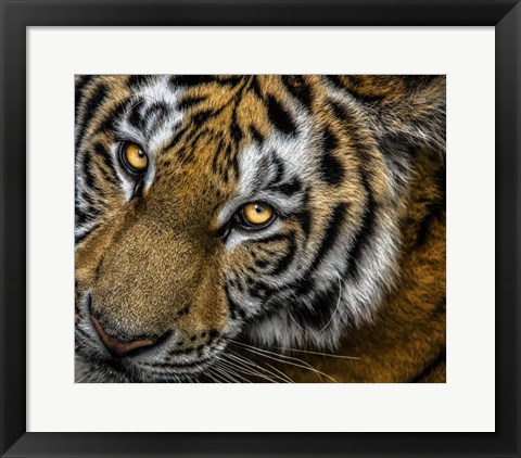 Framed Tiger Close Up Print
