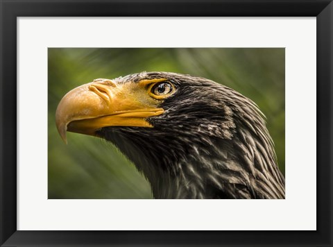 Framed Steller Sea Eagle Print