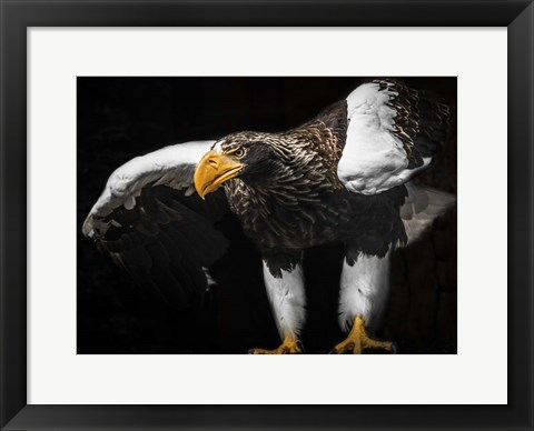 Framed Steller Sea Eagle Wings III Print