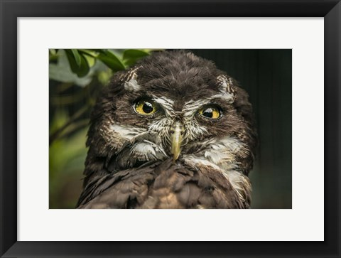 Framed Little Owl Print