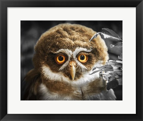 Framed Young Owl Print