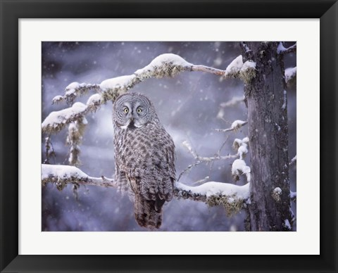 Framed Owl in the Snow III Print
