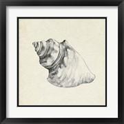 Seashell Pencil Sketch IV