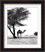 Camel and Tree, Desert of Mauritania
