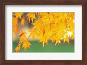 Yellow Maple Leaves, Autumn