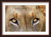 Close-up of Male Lion, Kruger National Park, South Africa.