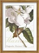 Magnolia Maxime