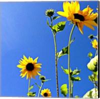 Framed Sunflowers and Sky