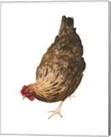 Framed Autumn Chicken II