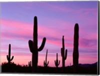 Framed Arizona, Saguaro Cacti Silhouetted By Sunset, Ajo Mountain Loop