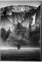 Framed Misty Californian Oak (BW)