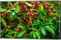 Framed Red Kona Coffee Cherries, Hawaii