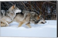Framed Gray Wolves Running In Snow, Montana