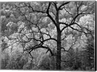 Framed Tree Caught In Dawn's Early Light, North Carolina (BW)