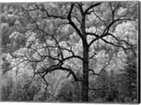Framed Tree Caught In Dawn's Early Light, North Carolina (BW)