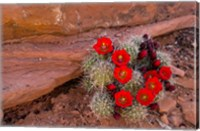 Framed Red Flowers Of A Claret Cup Cactus In Bloom
