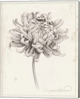 Framed Graphite Chrysanthemum Study I