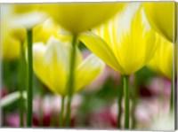 Framed Tulip Close-Ups 4, Lisse, Netherlands