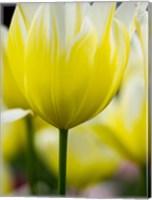 Framed Tulip Close-Ups 5, Lisse, Netherlands