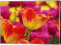 Framed Colorful Tulip 2, Netherlands