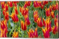 Framed Keukenhof Gardens Netherlands
