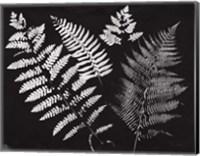 Framed Nature by the Lake Ferns II Black Crop