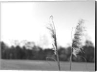 Framed Ethereal Pampas VII