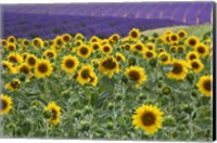 Framed Sunflowers Blooming Near Lavender Fields During Summer