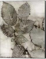 Framed Birch Leaves II