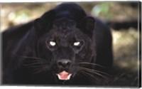Framed Black Panther Close Up