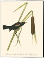 Framed Audubon's Blackbird