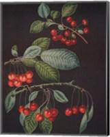 Framed Cherries (A)