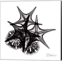 Framed X-ray Starfish & Sand Dollar BW