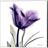 Framed X-ray Royal Purple Parrot Tulip