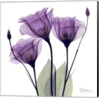 Framed X-ray Royal Purple Gentian