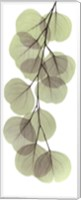 Framed X-ray Eucalypus Branch II