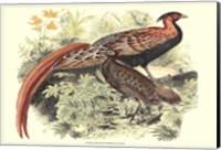 Framed Pheasant Varieties VIII