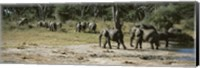 Framed African elephants (Loxodonta africana) in a forest, Hwange National Park, Matabeleland North, Zimbabwe