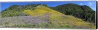 Framed Sunflowers and larkspur wildflowers on hillside, Colorado, USA