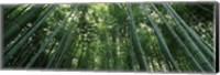 Framed Low angle view of bamboo trees, Arashiyama, Kyoto Prefecture, Kinki Region, Honshu, Japan