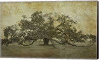 Framed Sugarmill Oak, Louisiana