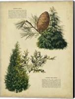 Framed Deodar Cedar & Eastern Red Cedar