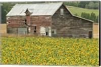 Framed Sunflowers and Old Barn, near Oamaru, North Otago, South Island, New Zealand