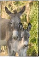 Framed Mother and Baby Donkeys on Salt Cay Island, Turks and Caicos, Caribbean