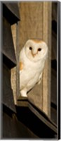 Framed England, Barn Owl looking out from Barn